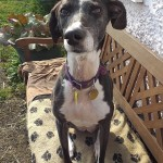 Meg, now happily rehomed. Lurcher SOS saved her from being shot